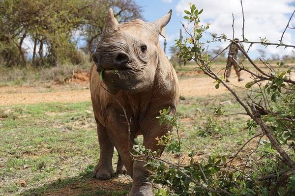 Black rhino calf Meimei (C) Save the Rhino International