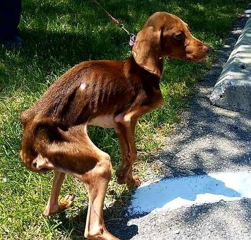"alt=""emaciated dog before"""