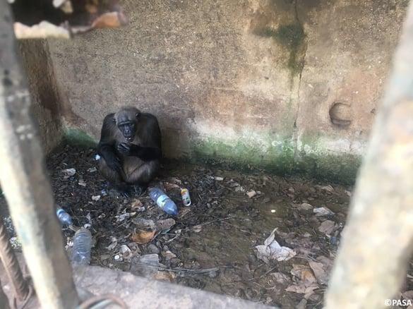 """alt=""""chimpanzees in cage"""""""