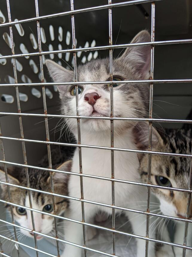 Three kittens in a crate look curiously at the camera.