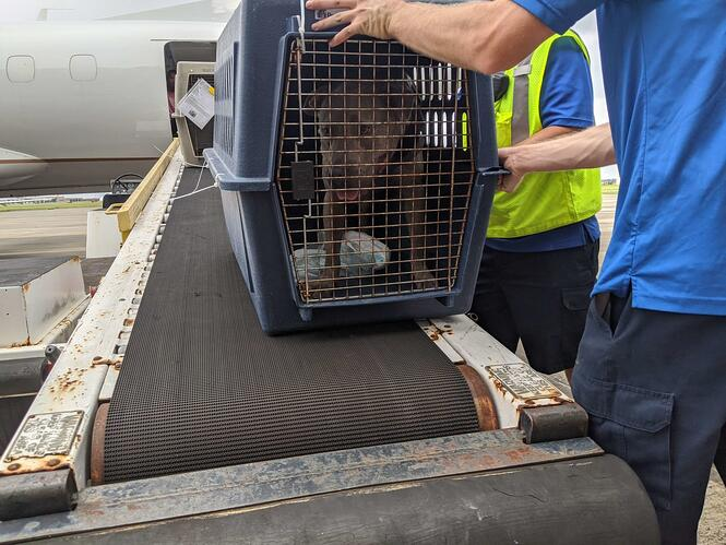 A dog in a crate is loaded onto a conveyer belt leading to the inside of a plane.