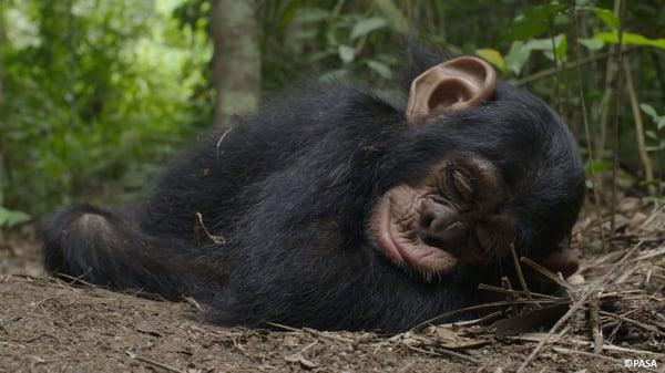 "alt=""chimpanzees free at the sanctuary"""