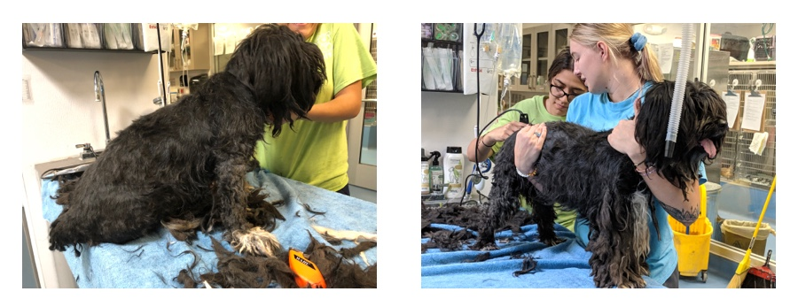 The patient groomers starting the long process of giving Aria a haircut.