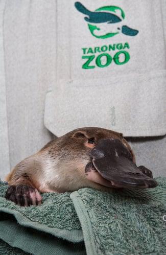 Platypus-Taronga