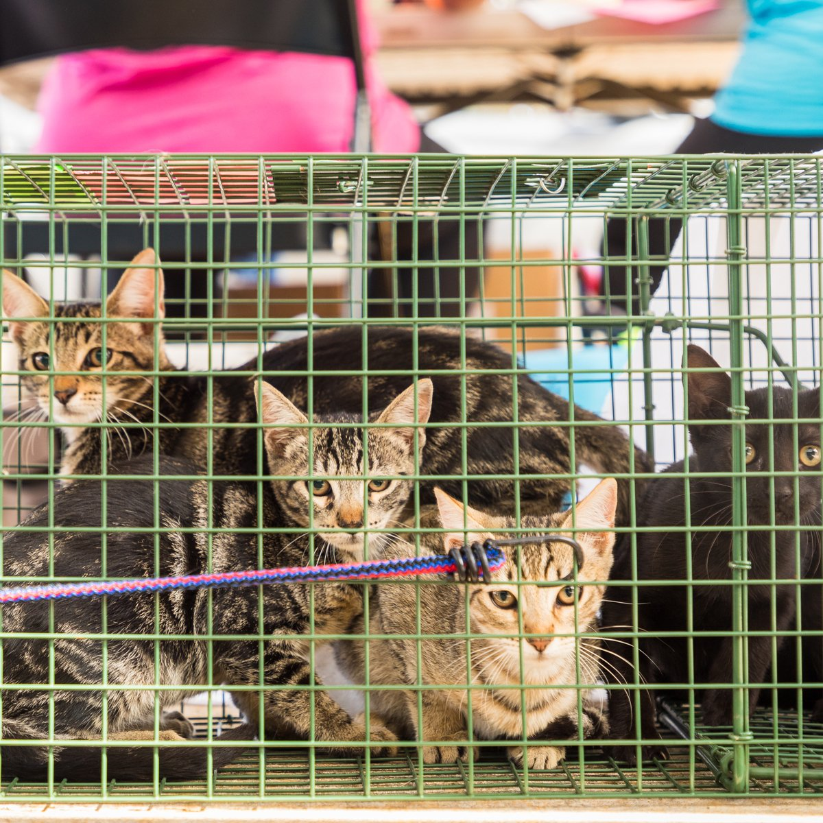 overpopulation-cats-kauai