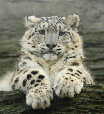 snow leopard from shutterstock (1)