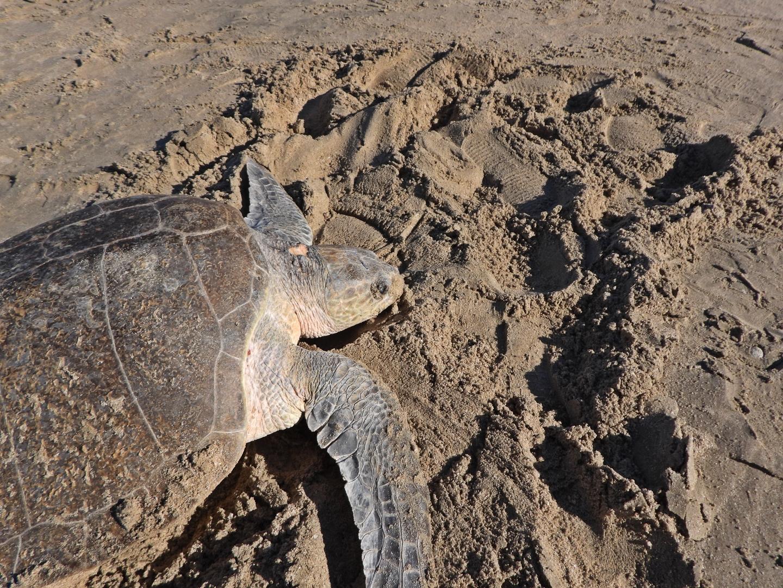 Sea Turtle on Beach ©CEDO_Project Peril