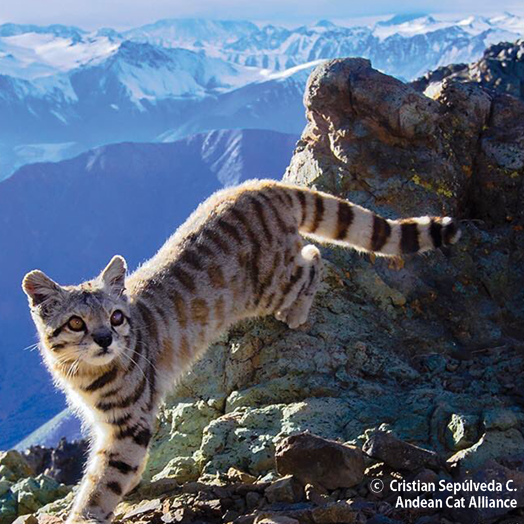 Andean-Cat