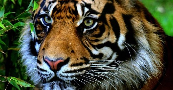 Save the Sumatran Tiger From Extinction