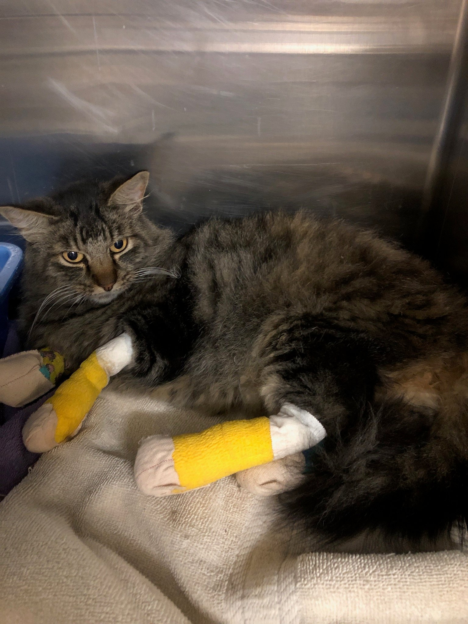 Cat-with-Wrapped-Paws-2_©Jameson-Humane_CA-Fires-2020