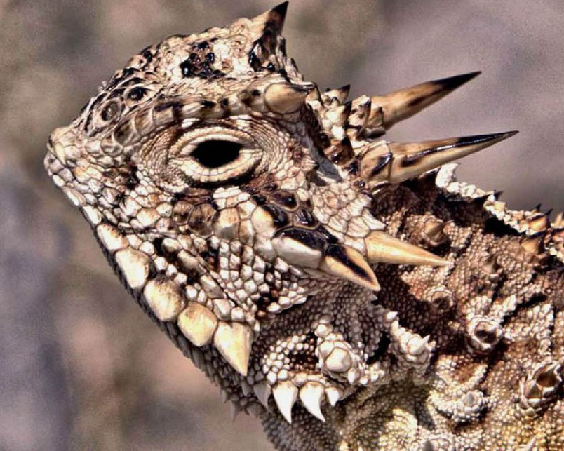Horned-Lizards-Sonora-Mexico