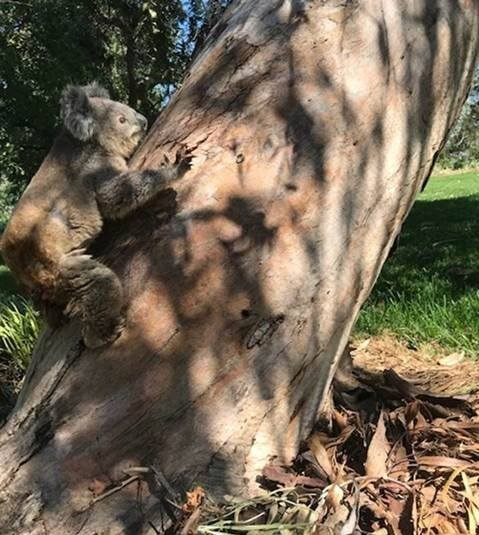 Koalas Released Back Home After Being Rescued From Bushfires