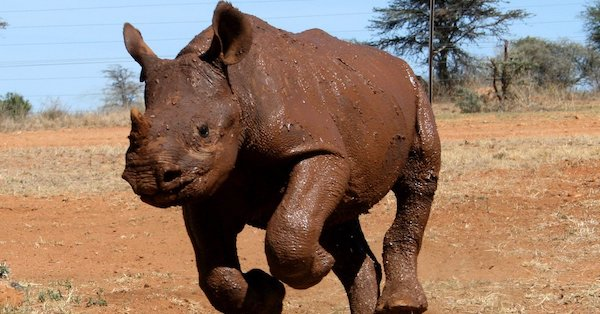 Thank YOU for Providing Three Black Rhinos With Emergency Medical Care!