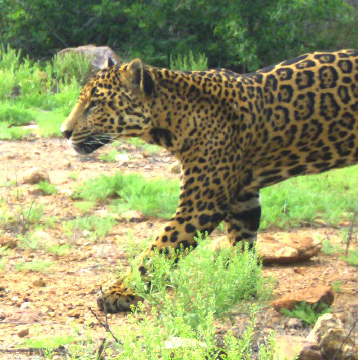 Panthera onca-Luisa-JMGalazG-La Locha-Ran Pueblo Viejo-22.8 km ESE Divisaderos-3April20-1b