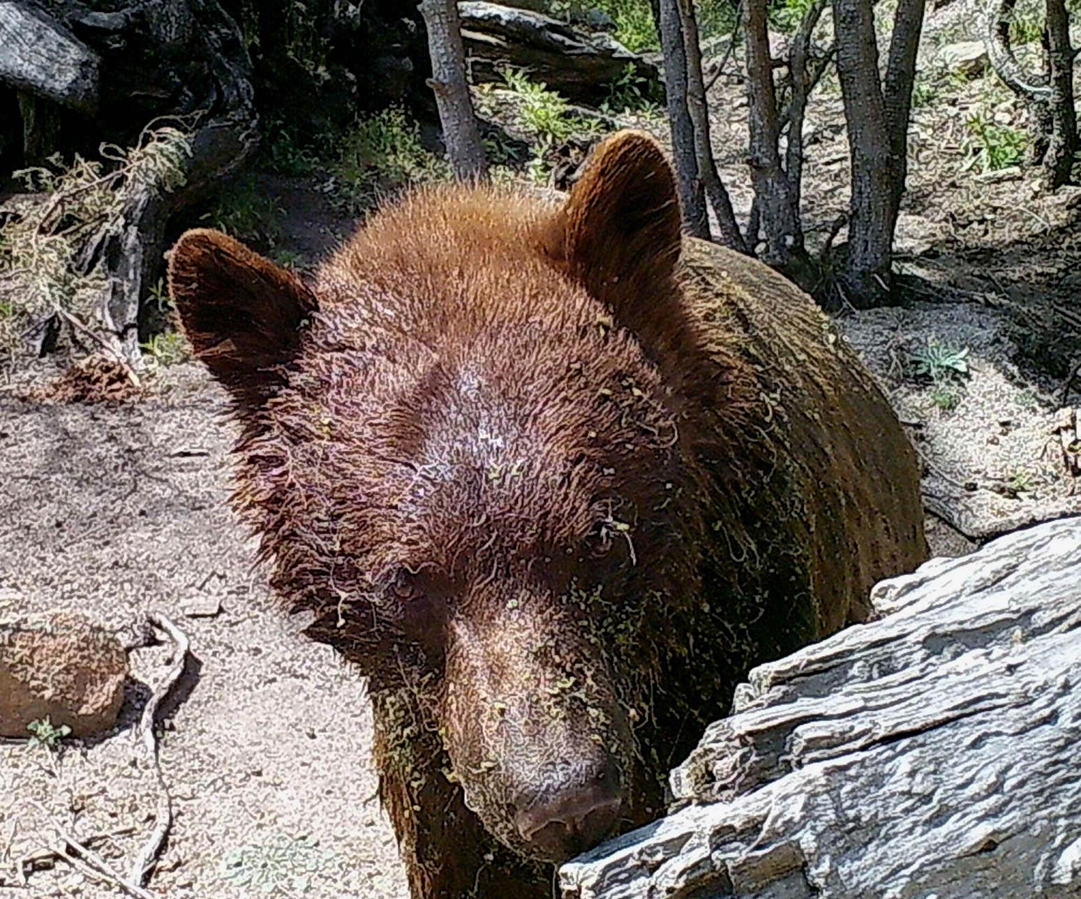 Ursus americanus-JMCirett-G-cam05-SChivato-14Apr19-6a