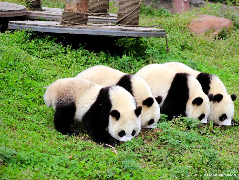 baby-pandas-credited
