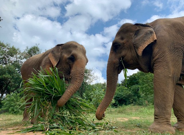 Photo from Elephant Nature Park of two elephants enjoying a meal provided by Greater Good Charities donations.