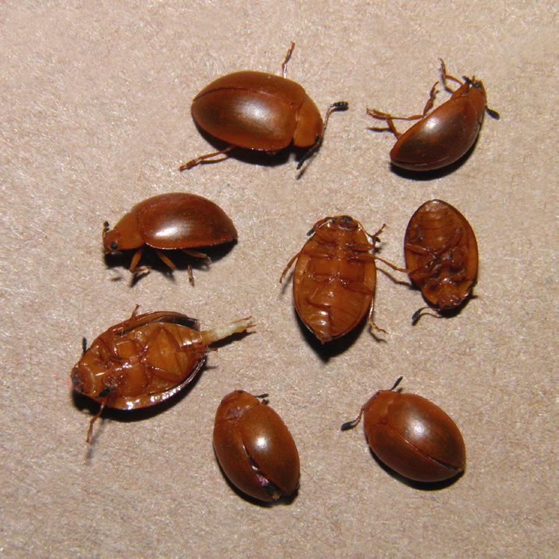 first-records-of-fungus-beetles-aegithus-hogei-gorham